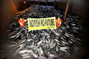 """Greenpeace activists hold up a banner reading """"No fish No future"""" in the hold of the ship 'Heng Xing 1' in an area of international waters near the exclusive economic zone of Indonesia. The Cambodian flagged vessel, was caught illegally transhipping frozen tuna from a Philippine fishing vessel and two other Indonesian vessels in the Pacific high seas, where none of the ships have licenses to operate. Under international law, the lack of a valid license means the vessels forbidden to engage in any fishing activities - including fish transfer. The transshipment of fish from one vessel to another is prohibited in international waters under international law as it has been proven to aid illegal, unregulated and unreported fishing activities. Greenpeace activists boarded the 'Heng Xing 1' and found the hold to be full of skip jack tuna and juvenile yellowfin, which are likely to be destined for canned tuna markets in the West. Yellowfin tuna is classified on the International Union for the Conservation of Nature (IUCN) 'Red List' as 'Near Threatened'. Pirate fishing operations are common in international waters where monitoring and surveillance is difficult. Greenpeace is calling for a network of marine reserves to be established in four high seas pockets known as the Pacific Commons, and for these be declared off limits to fishing."""